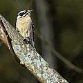 Female Downy Woodpecker by John Haldane