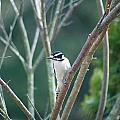 Female Downy Woodpecker by Maggie Martin
