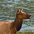 Female Elk II by Stuart Gordon