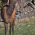 Female Elk by Kent Becker