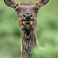 Female Elk Portrait Yellowstone National Park Wyoming by Dave Welling