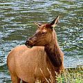 Female Elk by Stuart Gordon