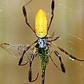 Female Golden Silk Spider Eating by Millard H. Sharp