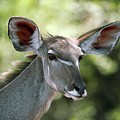 Female Greater Kudu by Dr P. Marazzi/science Photo Library