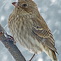 Female House Finch In Snow 1 by Debbie Portwood