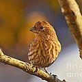 Female Housefinch by Debbie Portwood