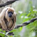 Female Howler Monkey by Jit Lim