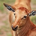 Female Impala by Aidan Moran
