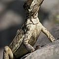 Female Jesus Lizard by Heiko Koehrer-Wagner