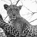 Female Leopard by Howard Kennedy