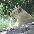 Female Lion On Guard by John Telfer