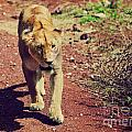 Female Lion Walking. Ngorongoro In Tanzania by Michal Bednarek