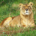 Female Lioness Lying On The Grass In The Afternoon Sun by Jessica Foster