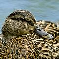 Female Mallard Duck by Michael Cummings