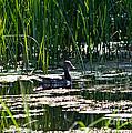 Female Mallard Duck Swimming by Ms Judi