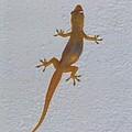 Female Nocturnal Lizard by Robert Floyd