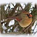 Female Northern Cardinal by Jemmy Archer