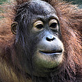 Female Orangutan Borneo by Carole-Anne Fooks