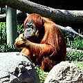 Female Orangutan-san Diego by Jay Milo