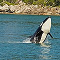 Female Orca Cheval Island Alaska by Michael Rogers