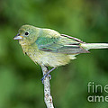Female Painted Bunting Passerina Ciris by Anthony Mercieca