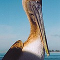 Female Pelican by Robert Floyd