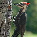 Female Pileated Woodpecker by Sandra Updyke