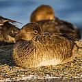 Female Readhead Duck by Doug Lloyd
