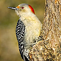 Female Red-bellied Woodpecker by Bill Wakeley