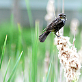 Female Red Winged Black Bird by Optical Playground By MP Ray