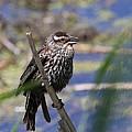 Female Red-winged Blackbird by Davandra Cribbie