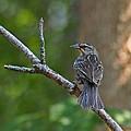 Female Red Winged Blackbird by Harvey Bunce