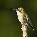 Female Ruby Throated Hummingbird by John Vose