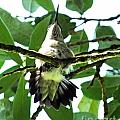 Female Ruby Throated Hummingbird by Lizi Beard-Ward