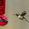 Female Ruby Throated Hummingbird by Paul Freidlund