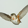 Female Rufous Hummingbird With Sequins by Gregory Scott