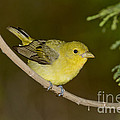 Female Scarlet Tanager by Anthony Mercieca