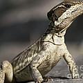 Female Striped Lizard by Heiko Koehrer-Wagner