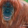 Female Sumatran Orangutan by Connie Bransilver