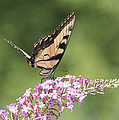 Female Tiger Butterly-1-featured In Macro-comfortable Art And Newbies Groups by Ericamaxine Price