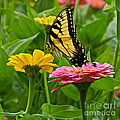 Female Tiger Swallowtail Butterfly With Pink And Yellow Zinnias by Byron Varvarigos