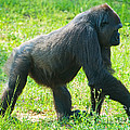 Female Western Lowland Gorilla by Millard H. Sharp