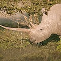 Female White Rhinoceros Grazing by Science Photo Library