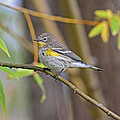 Female Yellow-rumped Warbler by Gary Wing