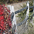 Fence And Creeper by Teresa Mucha