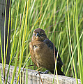 Fence Grackle by Kenneth Albin