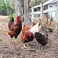 Fence Line Chickens by Scott Hansen