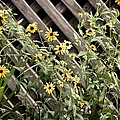 Fence Lined Wildflowers by Maria Urso