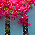 Fence With Bouganvillia by Susan Rovira