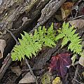 Fern And Maple Leaves Maine Img 6182 by Greg Kluempers